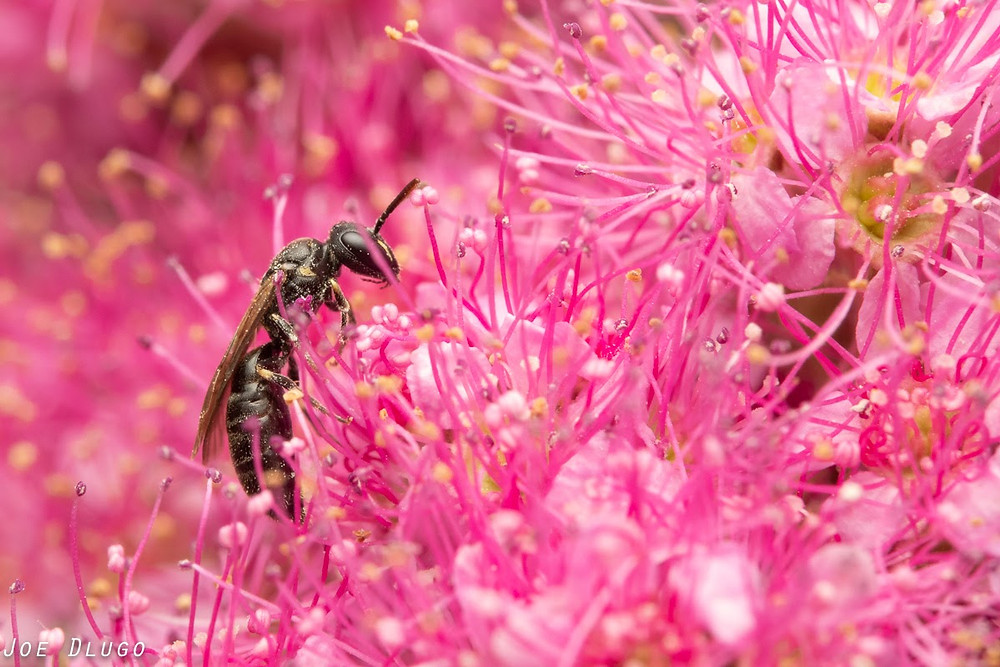A tiny black masked bee amongst throngs of tiny pink Douglas Spirea flowers