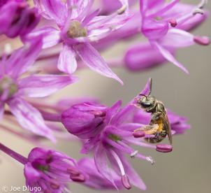 Lasioglossum (Dialictus) sp. on Allium sp. | USA, Washington, Tenino | 2018-06