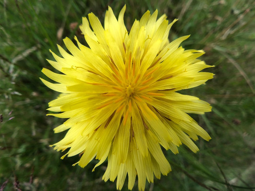 A Mining Bee and a Mighty Fine Native Dandelion