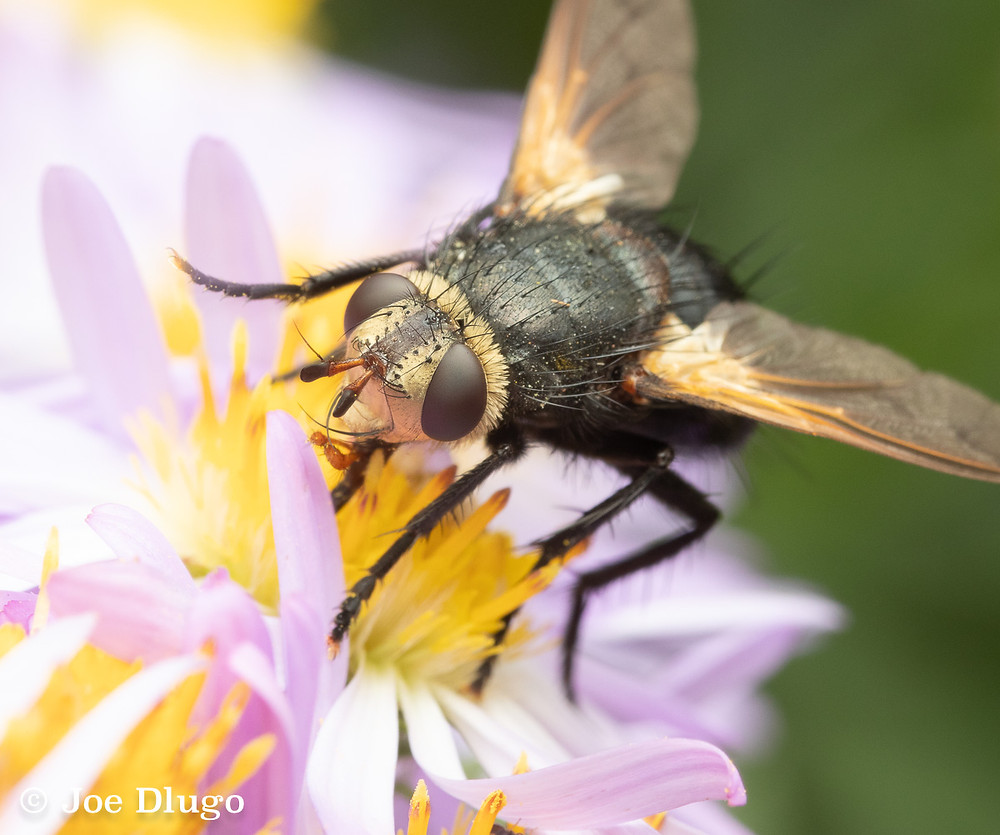 A fly of the genus Tachina, dark with spiked hairs and brown eyes, on a pink flower with a yellow center
