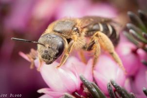 Halictus sp. on Erica carnea | USA, Washington, Tenino | 2018-03-10