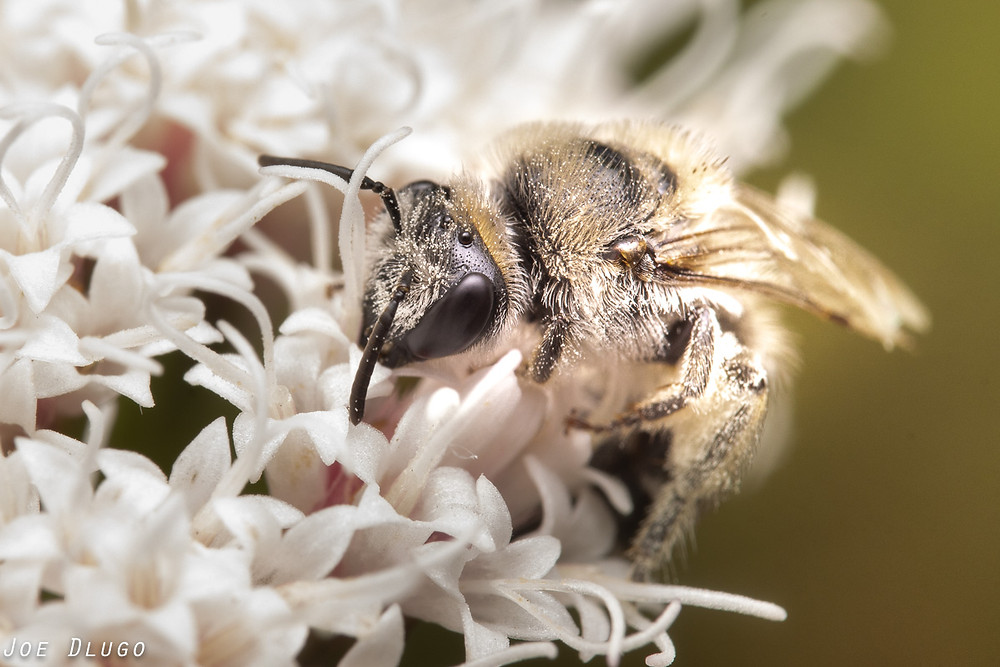 A hairy gray bee sifts Amon the tiny white flowers of Ageratina havanensis