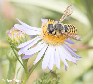 Megachile fidelis on Symphyotrichum chilense (Pacific Aster) | USA, Washington, Tenino | 2017-08