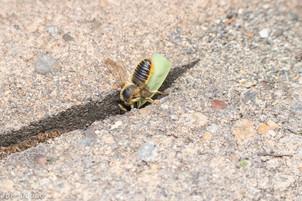 Megachile perihirta bringing leaf to nest | USA, Washington, Olympia | 2019-08-14