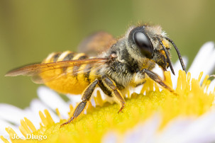 Megachile fidelis on Erigeron glaucus (seaside daisy) | USA, Washington, Tenino | 2018-08-15