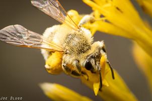 "Colletes sp. on Ericameria nauseosa ""rubber rabbitbrush""   USA, Washington, Oak Creek Wildlife Area   2019-10-24"