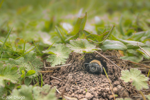 Andrena sp. peering out of nest in ground | USA, Washington, Tenino | 2016-04-02