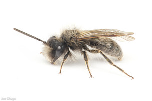 Andrena sp. (male) | USA, Washington, Thurston County | 2021-03-31