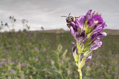 Alkali Bee, Nomia melanderi