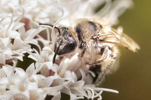 "Colletes sp. on Ageratina havanensis ""shrubby snakeroot""   USA, Texas, Lady Bird Johnson Wildflower Center   2019-12-05"
