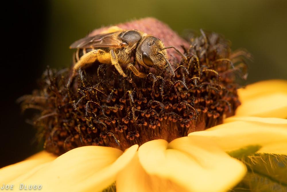 Halictus ligatus walking about the brown flower head of a Rudbeckia Hirta flower