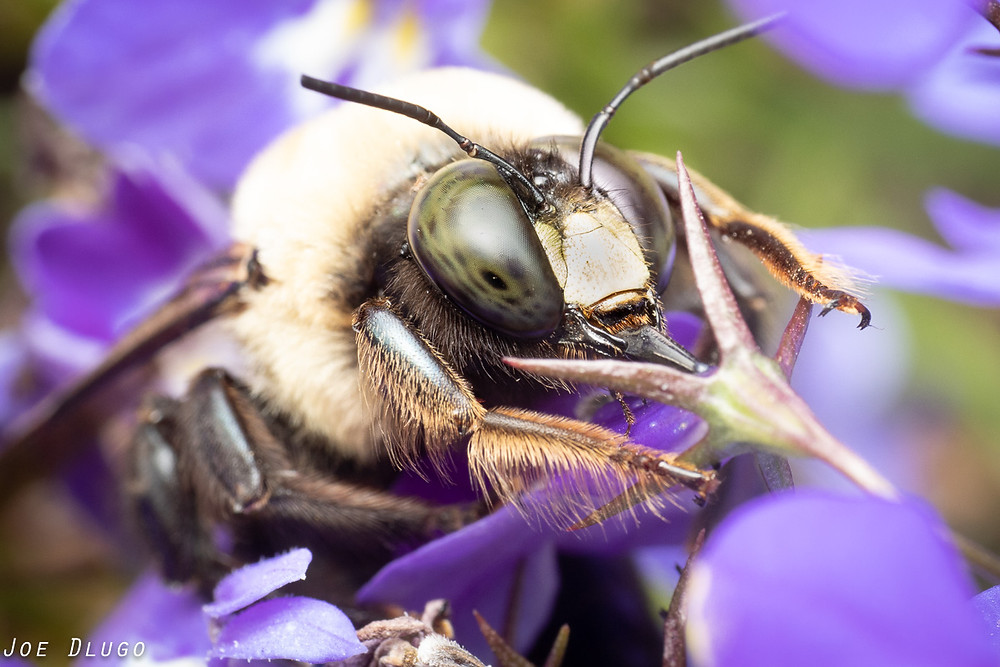 Eastern carpenter bee male (Xylocopa virginica) with tongue extended, feeding from blue lobelia