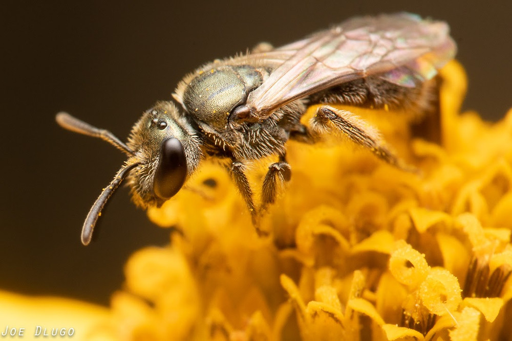 An iridescent olive green sweat bee of the genus Dialictus on a yellow flower head.