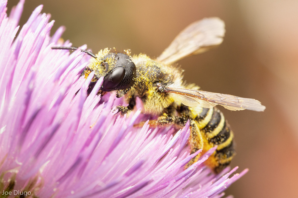 A pugnacious leafcutter bee, large and colorful yellow-banded bee with flared wings visiting the pink tendriled petals of thistle.