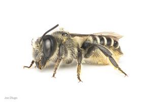 Megachile sp. | USA, Washington, Tenino | 2020-07-15