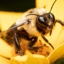 Bombus ~ Bumble Bees