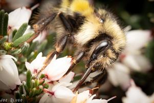 Bombus flavifrons on Erica sp. | USA, Washington, Tenino | 2018-03-20