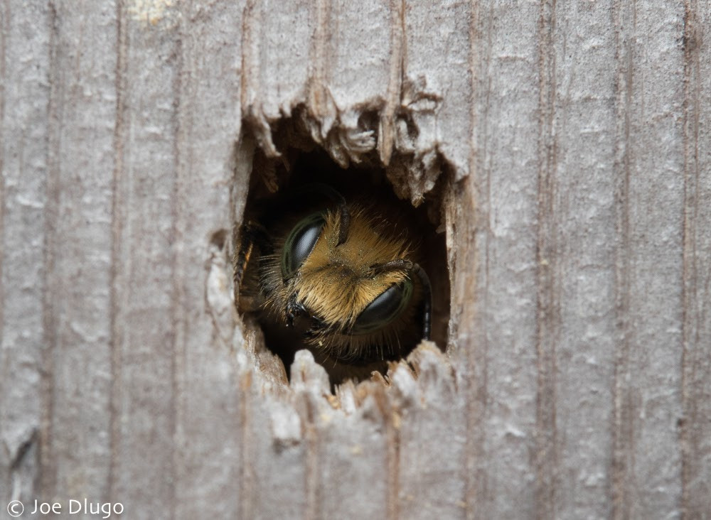 Peering out of an old nail hole in wood, an Osmia mason bee with tawny colored hair is seen in the center of the hole.