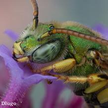 Agapostemon ~ Jewel Bees