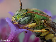 A male Agapostemon metallic green bee with orange antennae, yellow legs, and intensely iridescent green integument alights on a Brazilian Verbena flower.