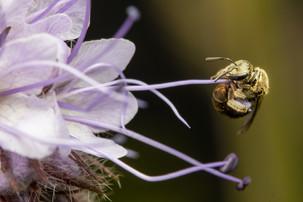 Lasioglossum (Dialictus) sp. on Phacelia tanacetifolia | USA, Washington, Tenino | 2020-06-09