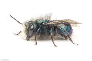 Osmia ribifloris (male) | USA, Oregon, Albany | 2021-05-14