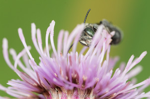 "Heriades sp.   on Cirsium arvense ""Canada thistle""   USA, Washington, Tenino   2016-07"