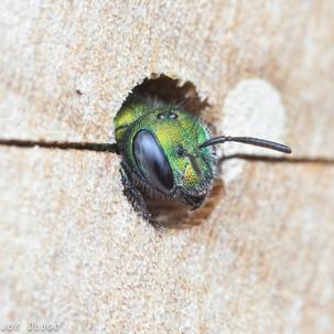 Hoplitis sp. at nest hole in bee boards | USA, Washington, Tenino | 2017-06-07