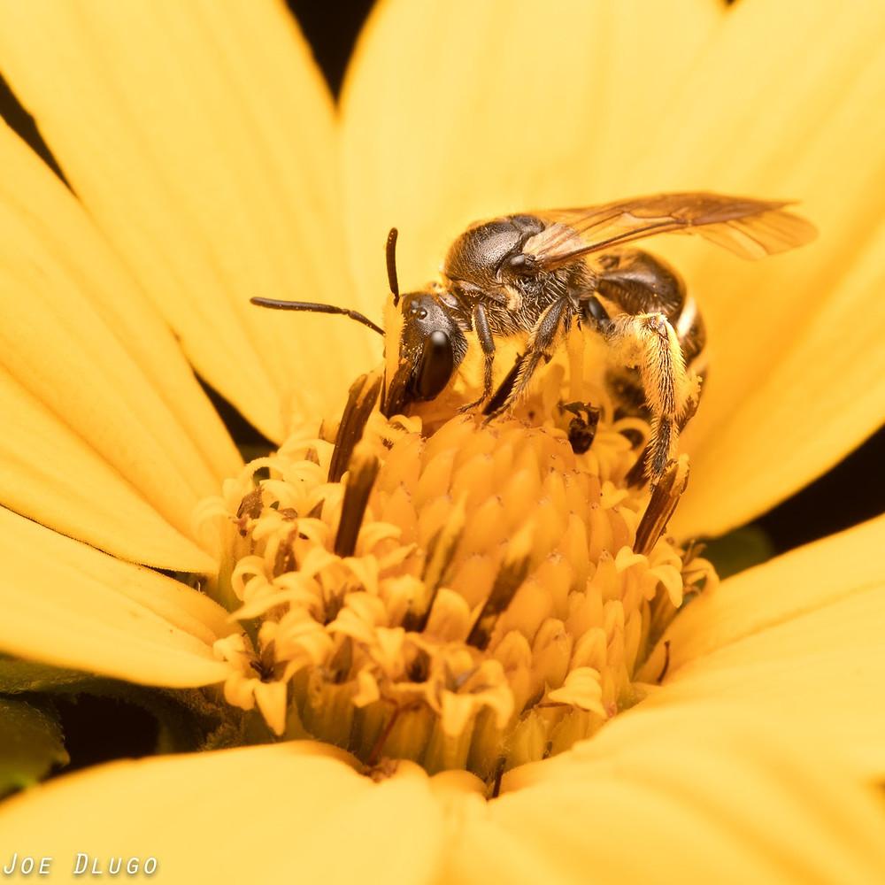 A female Lasioglossum sweat bee on woodland sunflower