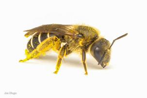 Halictus sp. (female) | USA, Washington, Tenino | 2020-10