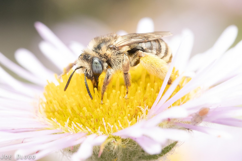 A chunky, hairy female long-horned bee on the yellow center of an Erigeron glaucus flower