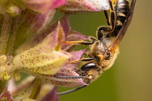 "Lasioglossum sp. on Salvia uliginosa ""bog sage"" | USA, Washington, Tenino | 2019-10-06"