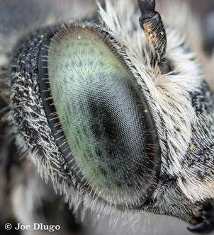 Coelioxys sp. close up of eye | USA, Washington, Tenino | 2017-08