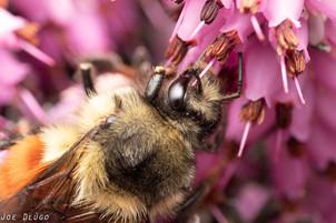 Bombus melanopygus on Erica carnea | USA, Washington, Tenino | 2020-03-10