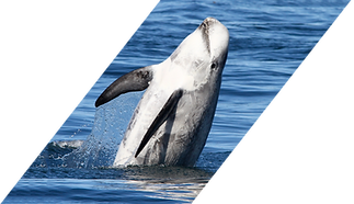 A Risso's dolphon breaches, its body upright, belly to the camera and slightly leaning to the right.