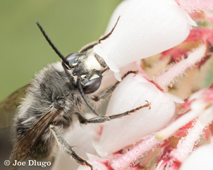 Habropoda sp. on Arctostaphylos columbiana | USA, Oregon, Grants Pass |  2018-04-06
