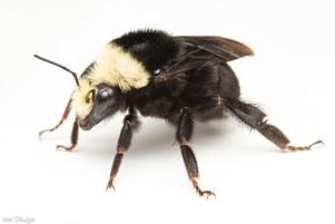 Bombus vosnesenskii (queen) | USA, Washington, Thurston County | 2021-03-04