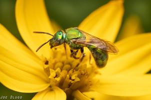 "Augochlorini sp. on Coreopsis ""Zagreb"" | USA, New Jersey, Ringoes | 2019-07-04"