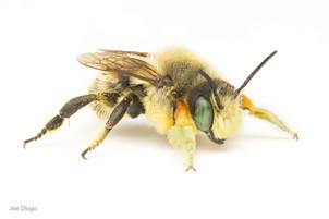 Megachile periherta (male) | USA, Washington, Tenino | 2020-08-09