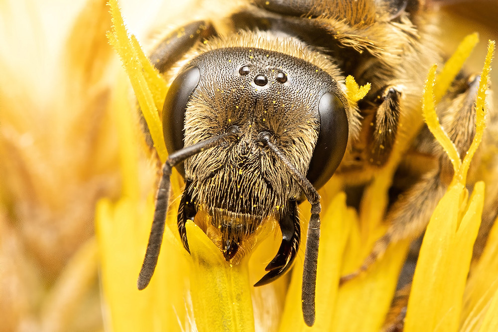 A furrow bee with a rounded head feeds from a rubber rabbitbrush flower as seen directly from in front