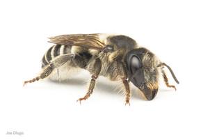 Megachile sp.(female) flower petal-cutting species | USA, Washington, Tenino | 2020-08-01