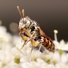 Perdita ~ Fairy Bees
