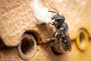 Megachile sp. collecting 'wool' at bee hotel | USA, Washington, Tenino | 2019-08-24