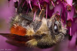 Bombus melanopygus (female) on Erica sp. (Winter Heath) | USA, Washington, Tenino | 2020-02-19
