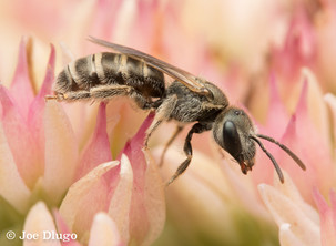 "Halictus sp. on Hylotelephium herbstsfreude ""sedum"" | USA, Washington, Tenino | 2018-09-01"