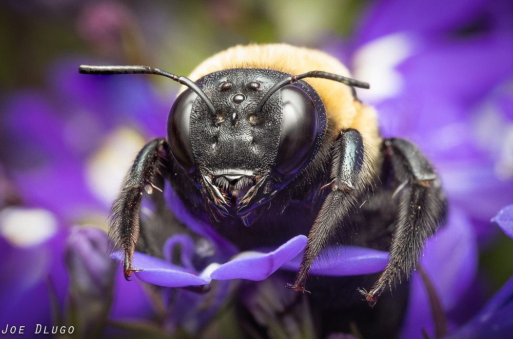 An eastern carpenter bee, Xylocopa virginica, on seen from in front while standing on a blue lobelia