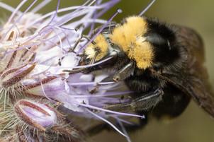 Bombus vosnesenskii (queen) on Phacelia tanacetifolia | USA, Washington, Tenino | 2020-06-14
