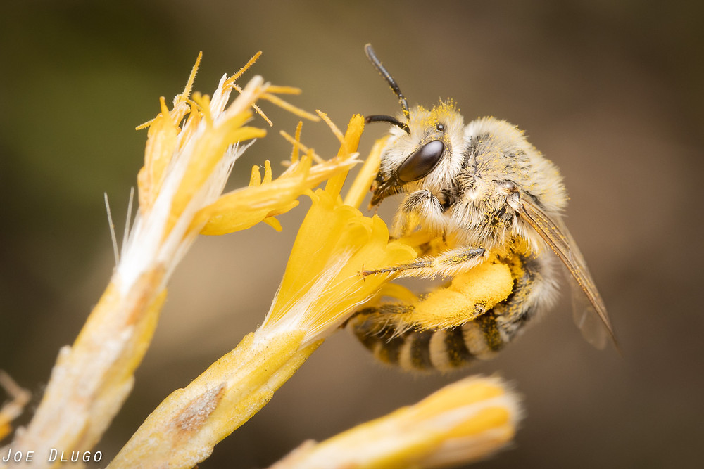A white-haired Cellophane bee, Colletes sp., curls into a rubber rabbitbrush flower