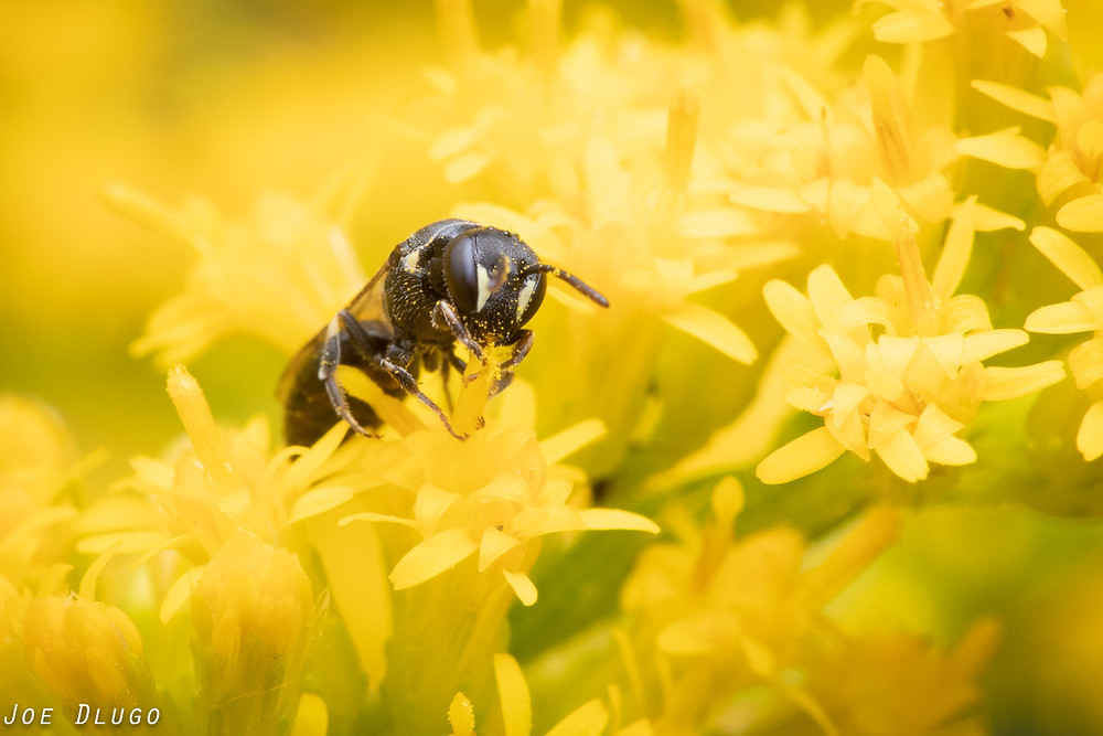 A masked bee, Hylaeus sp., visiting the flowers of tall goldenrod, Solidago altissima at Belmont Prairie Nature Preserve