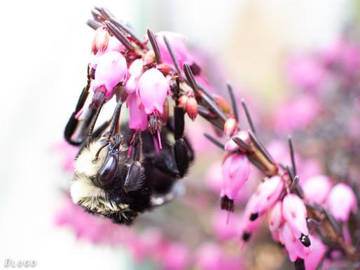 The Season's First Bees on Winter Heath